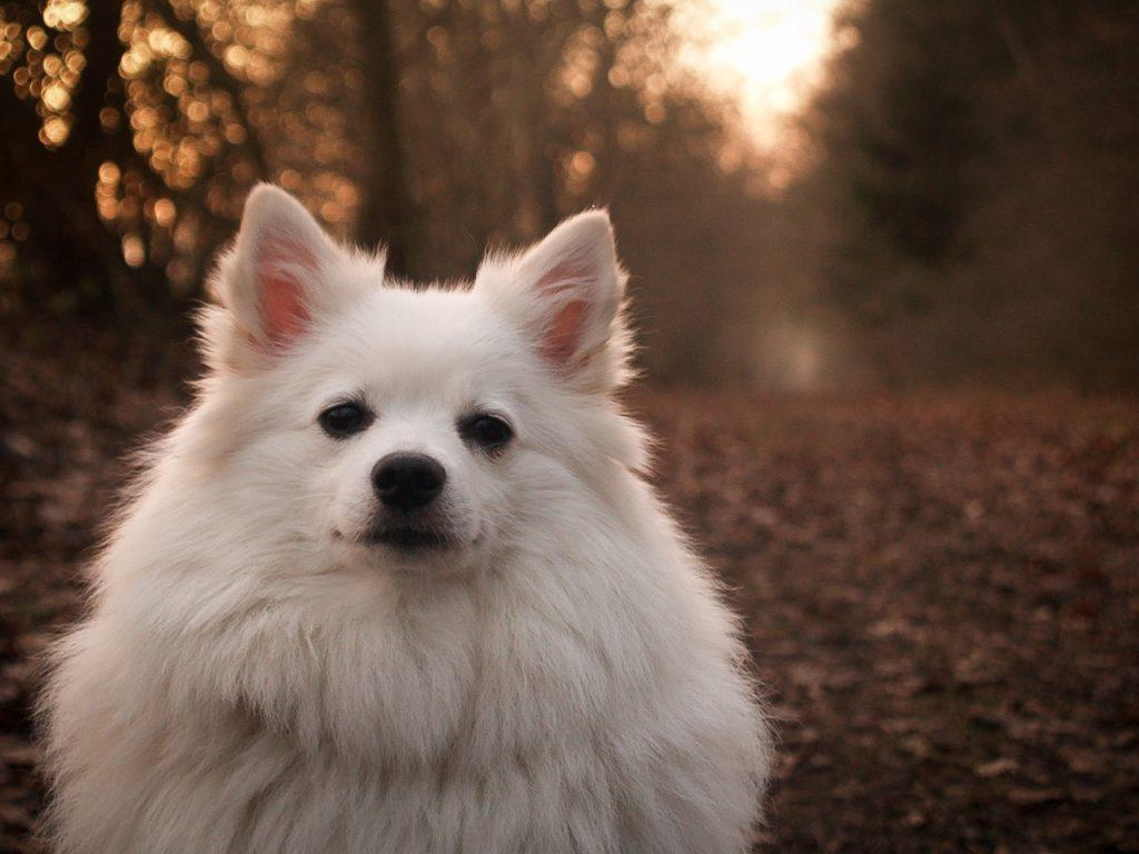 races de chiens préférées des Français : Spitz Allemand