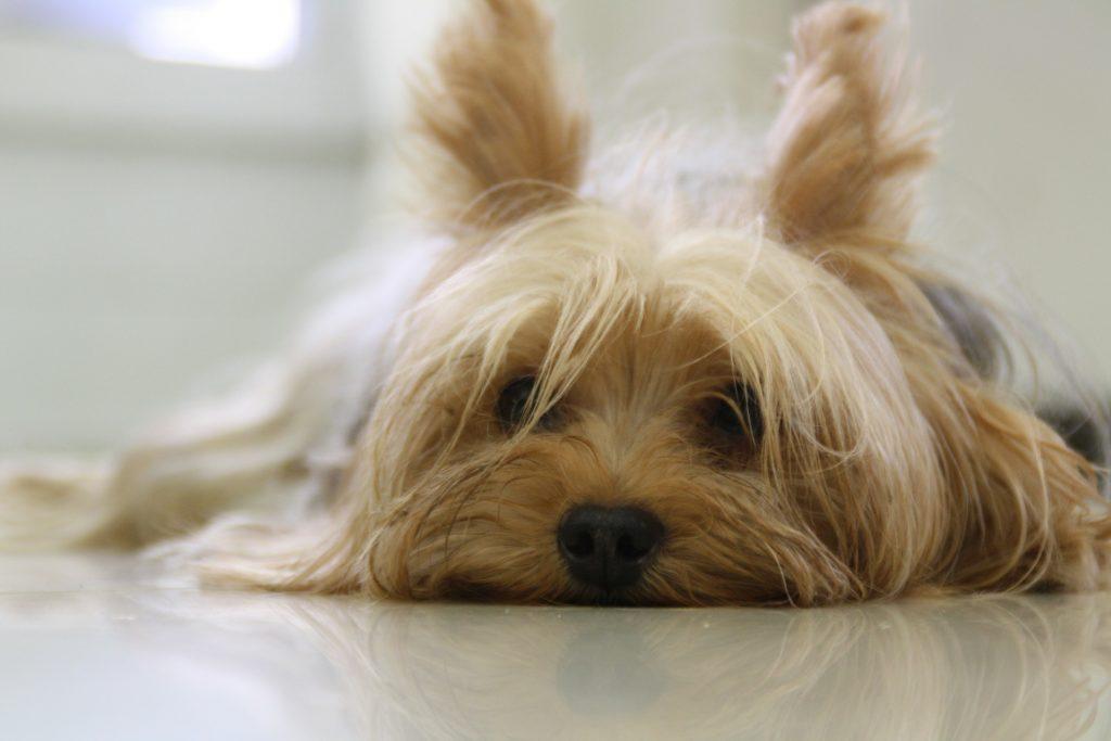 races de chiens préférées des Français : Yorkshire Terrier