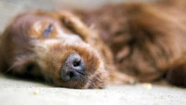 chien dormir