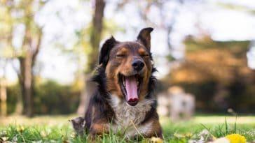 chien bâillement