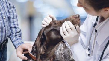glaucome chien