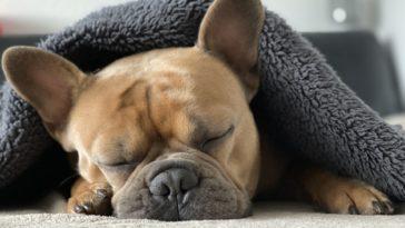 anémie hémolytique à médiation immune chien