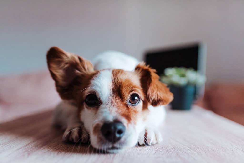 chien oreille écoute