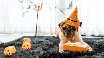 petit chien carlin déguisé avec un chapeau d'halloween