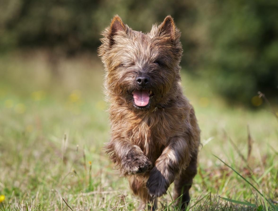 Chien Cairn Terrier marron en train de courir