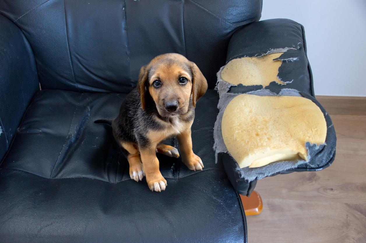 chien sur fauteuil abimé