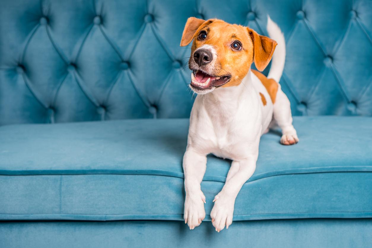 petit chien sur un canapé