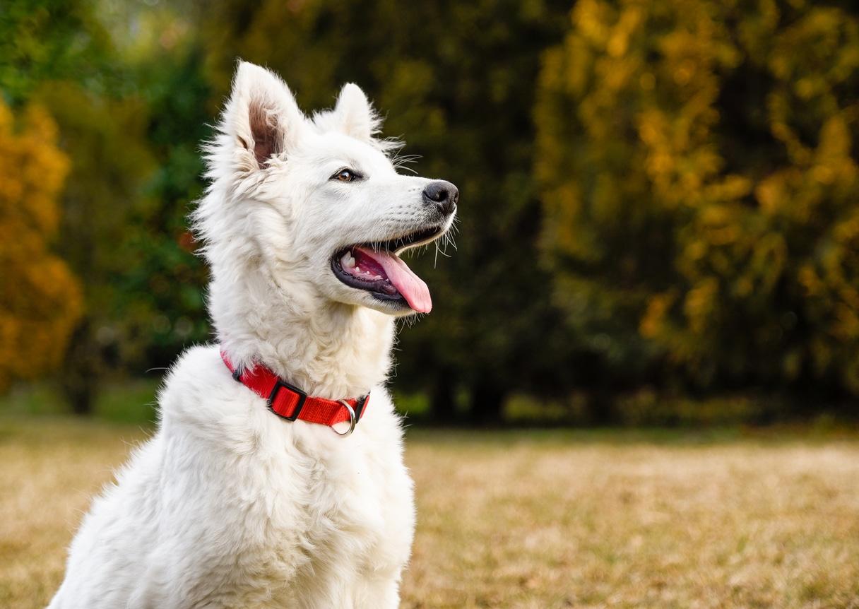 jeune chien berger blanc suisse