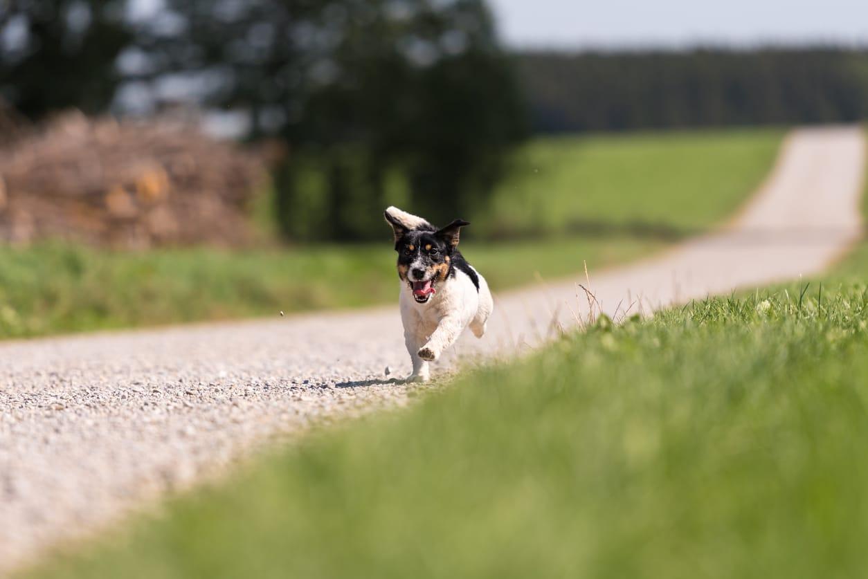 chien qui court seul