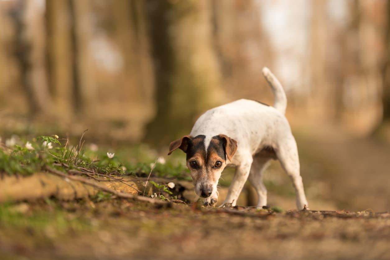 chien qui renifle les odeurs
