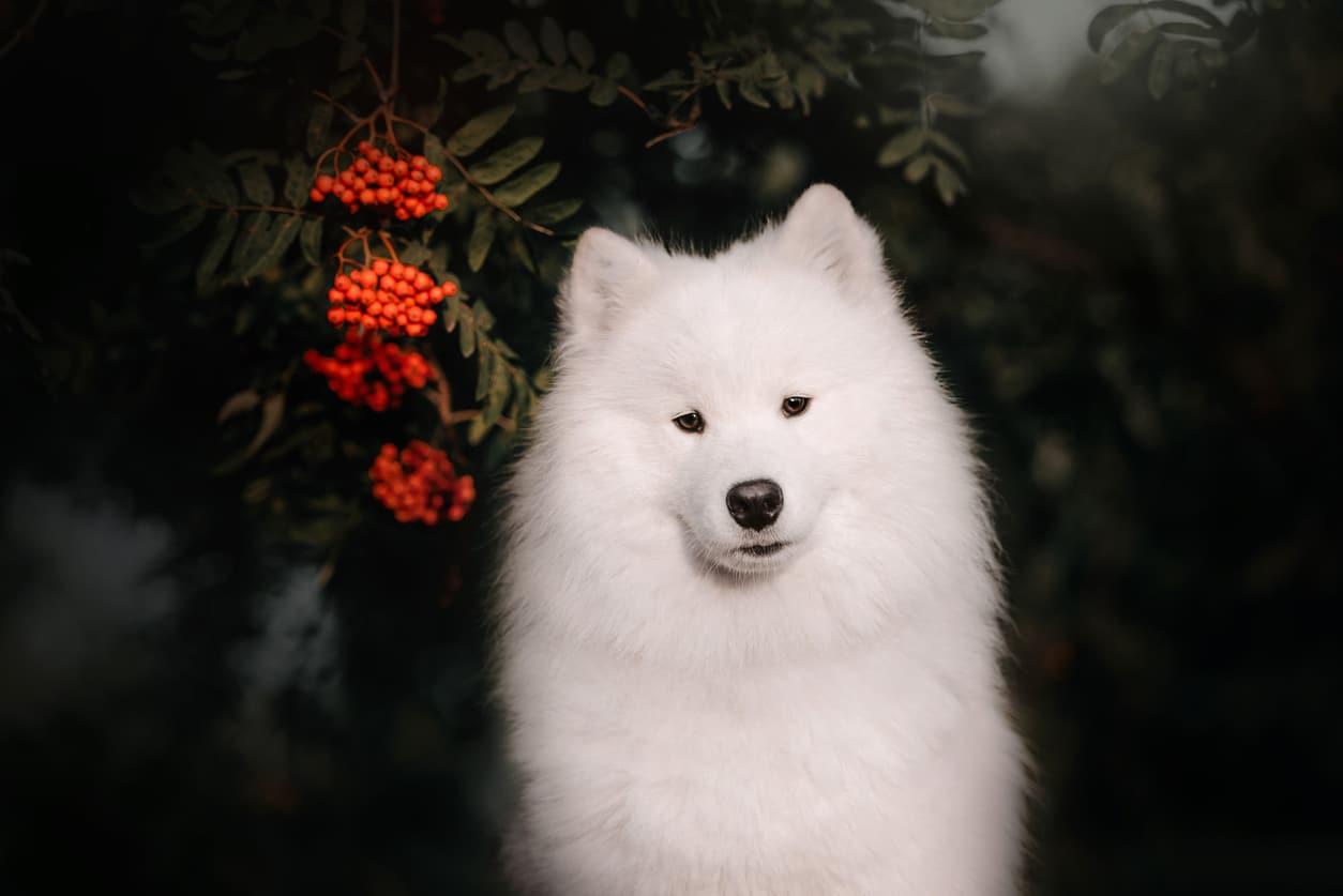 portrait de chien samoyède