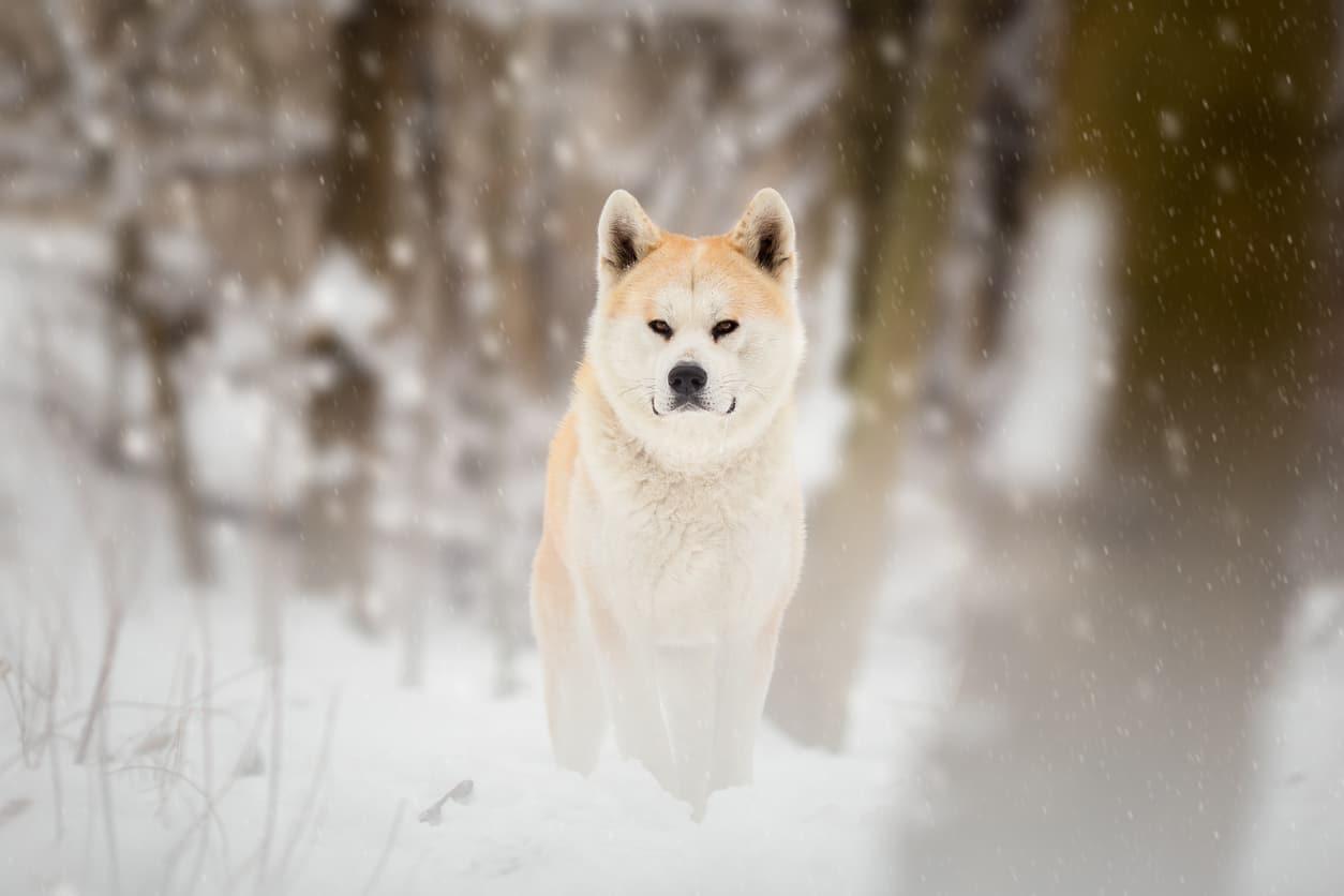 chien japonais Akita Inu