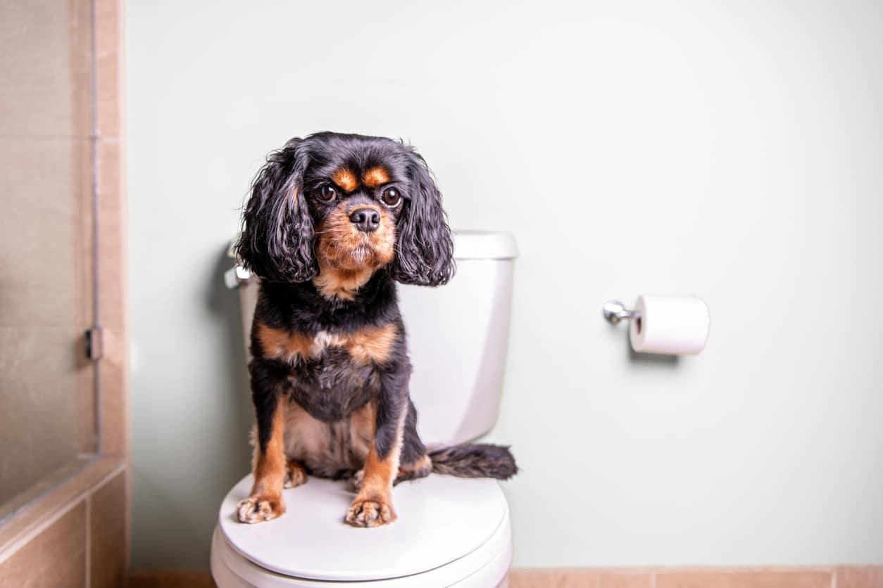 chien sur toilettes