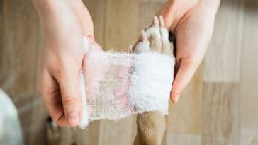 patte de chien bandée