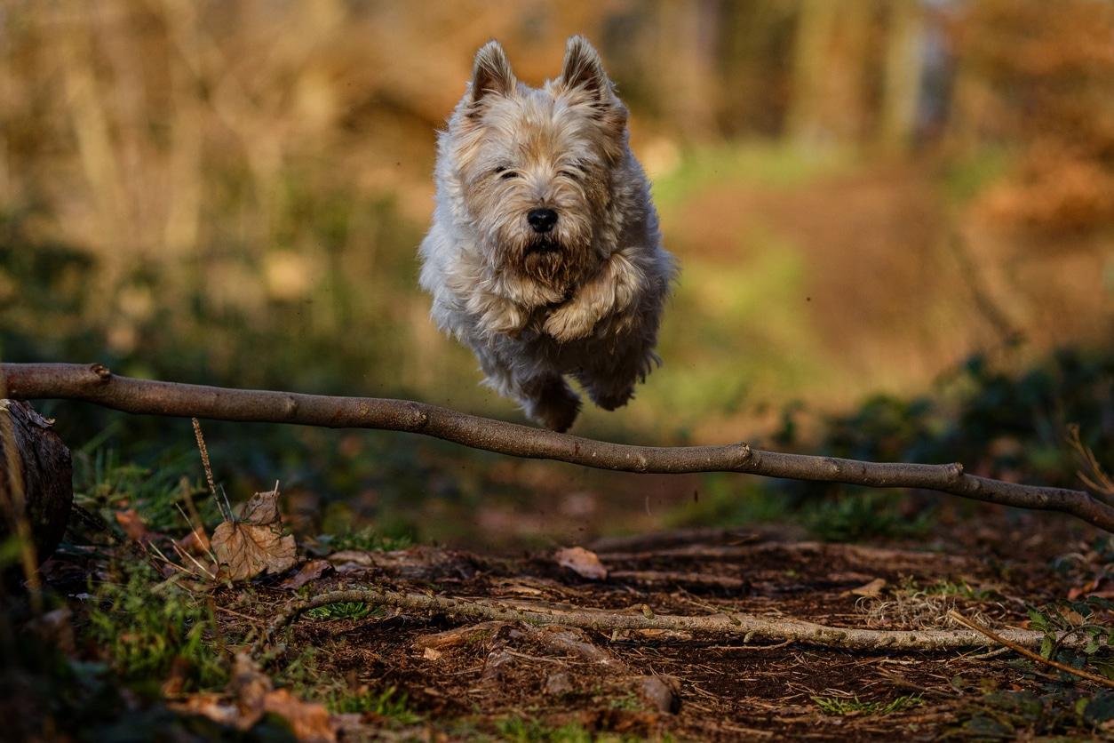 chien cairn terrier en train de sauter une branche