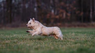Chien Cairn Terrier en train de courir