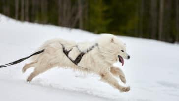 Samoyède qui court dans la neige