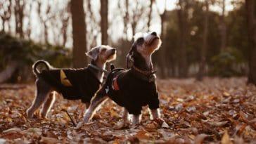 deux chiens avec un manteau dans une forêt