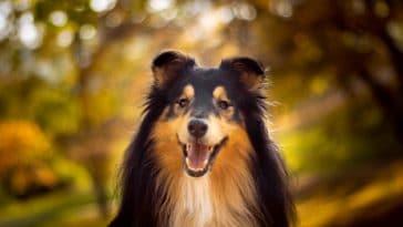 chien berger des shetland