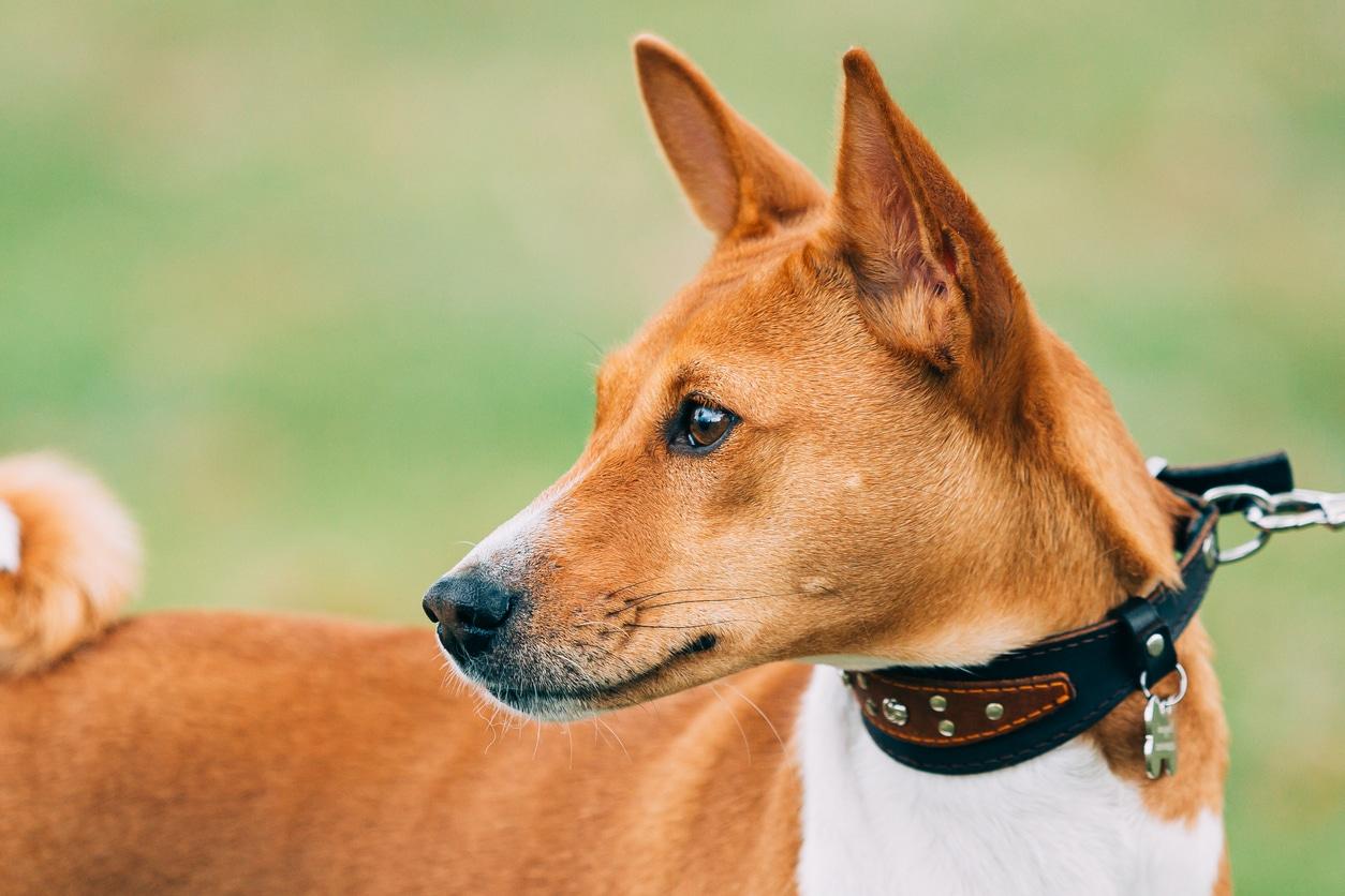 portrait d'un chien basenji