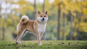 chien shiba inu roux