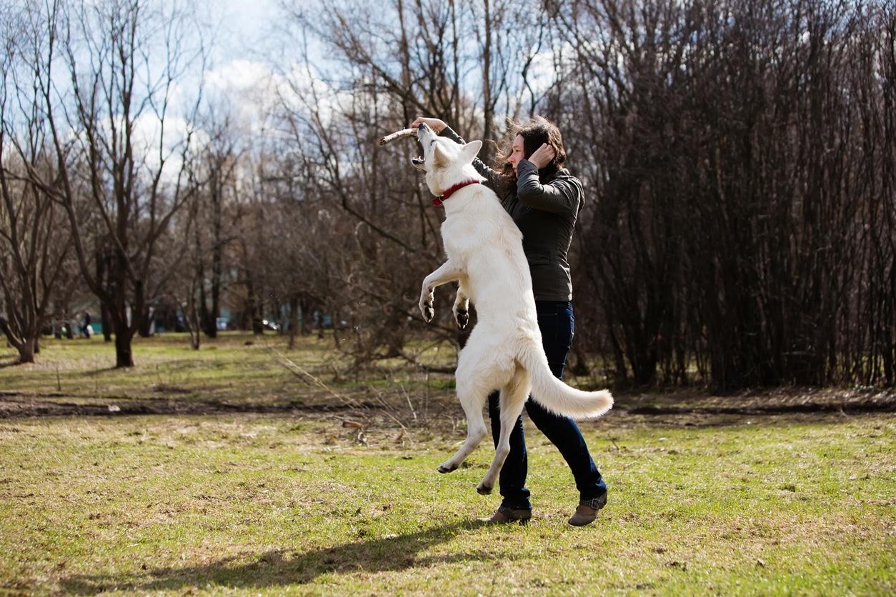 chien berger blanc suisse en train de jouer