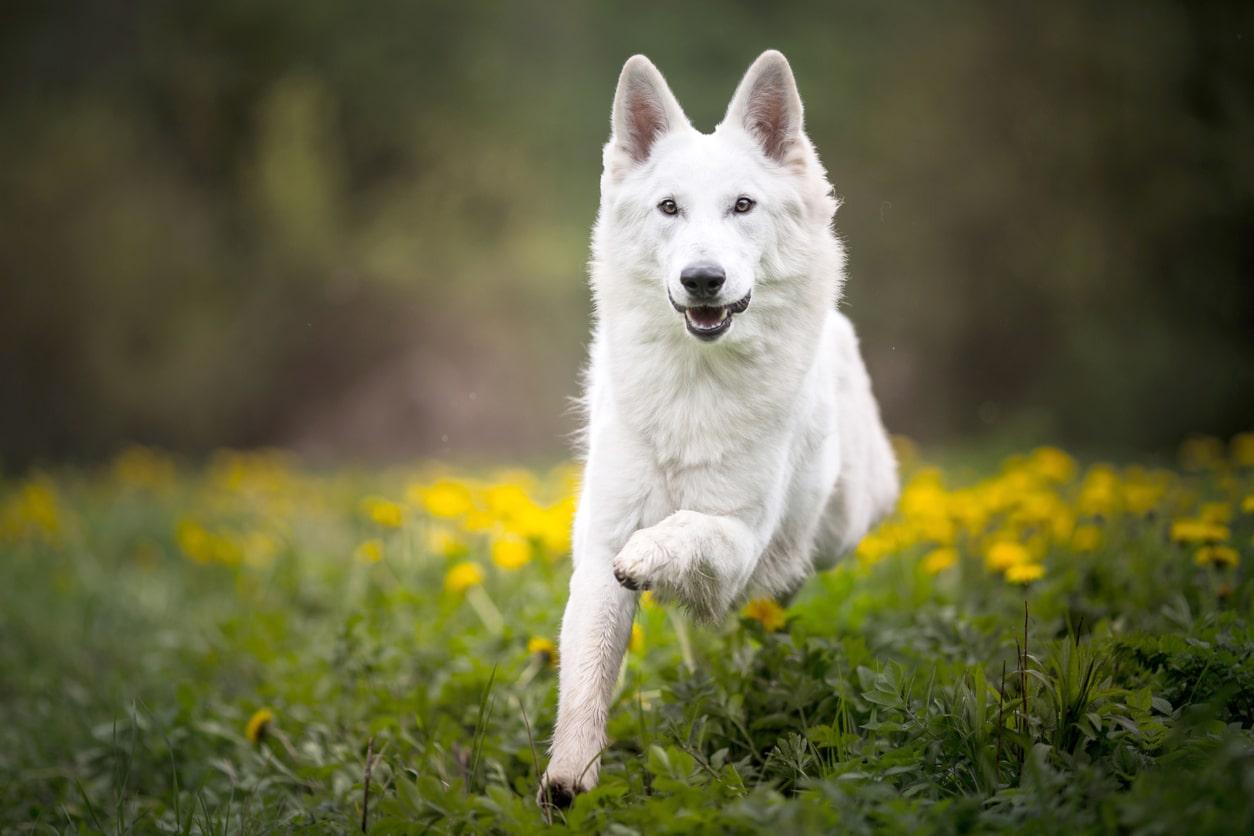 chien berger blanc suisse en train de courir