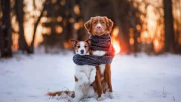 deux chiens enroulés dans une écharpe