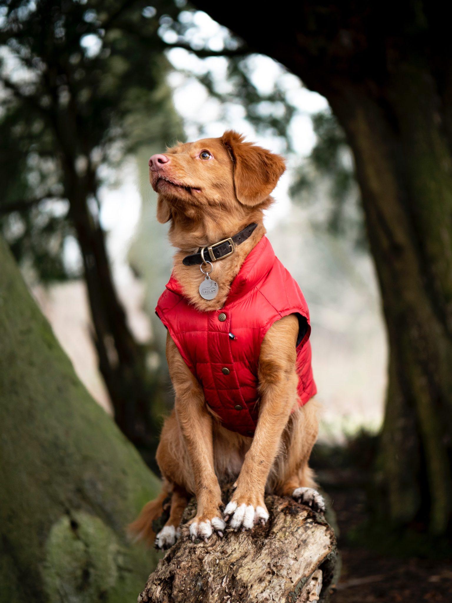 chien avec un manteau rouge