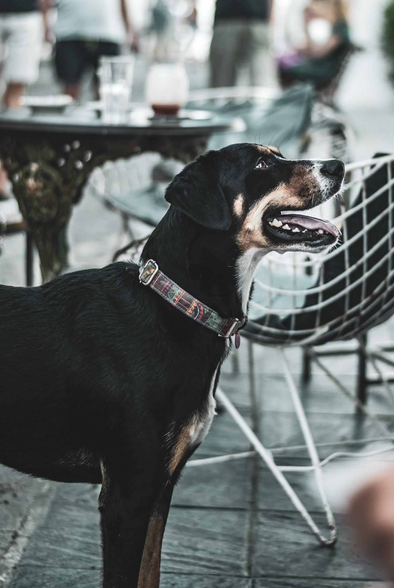 chien attentif