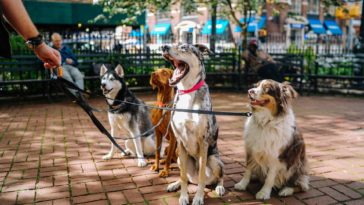chiens en promenade