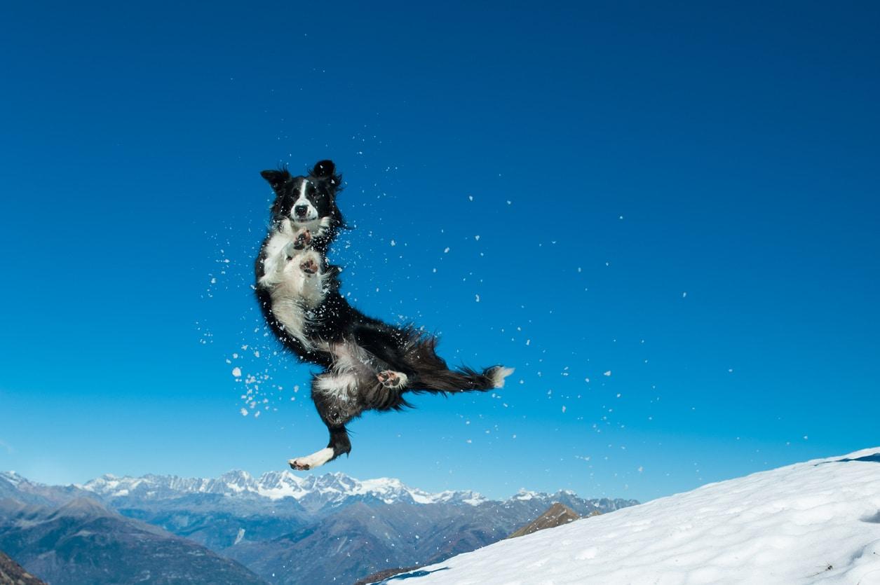 border collie qui saute dans la neige