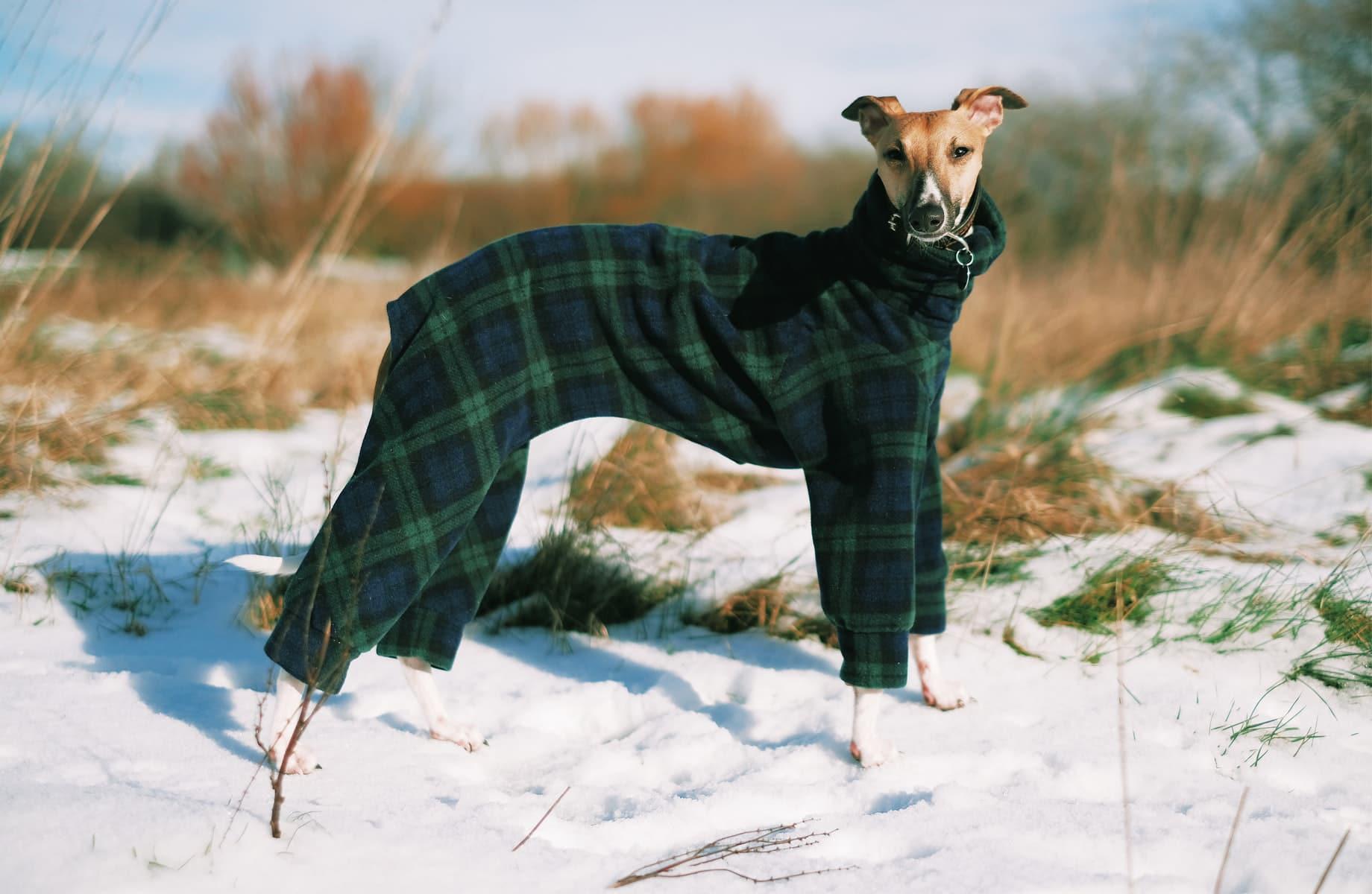 lévrier avec un manteau