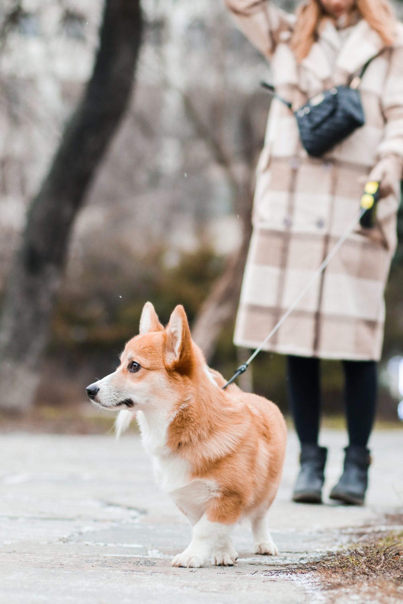 chien corgi en promenade