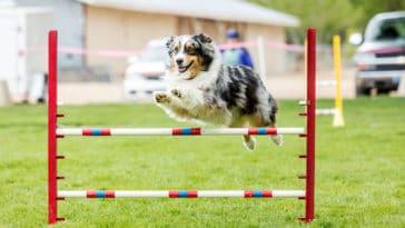 Chien qui saute un saut d'obstacle