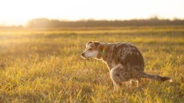 chien en train de déféquer dans un champ