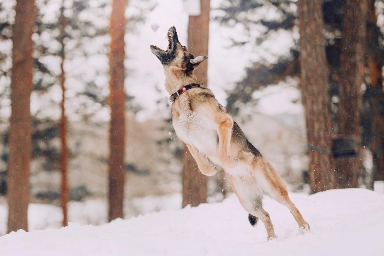 berger allemand qui saute en l'air dans la neige