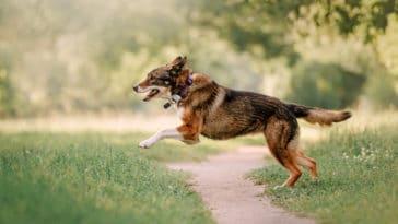 chien qui court avec un traceur GPS