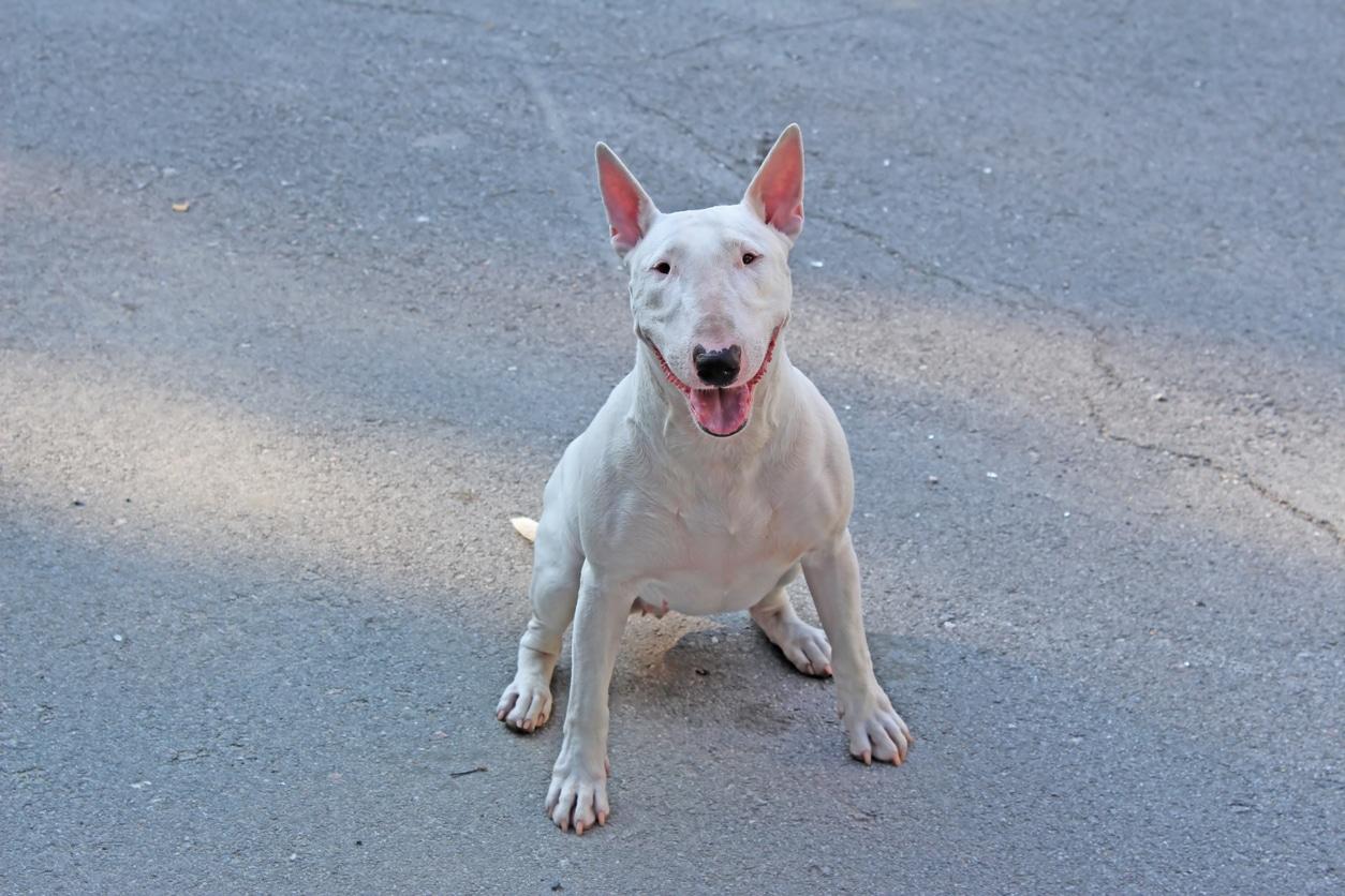 Bull Terrier blanc assis par terre