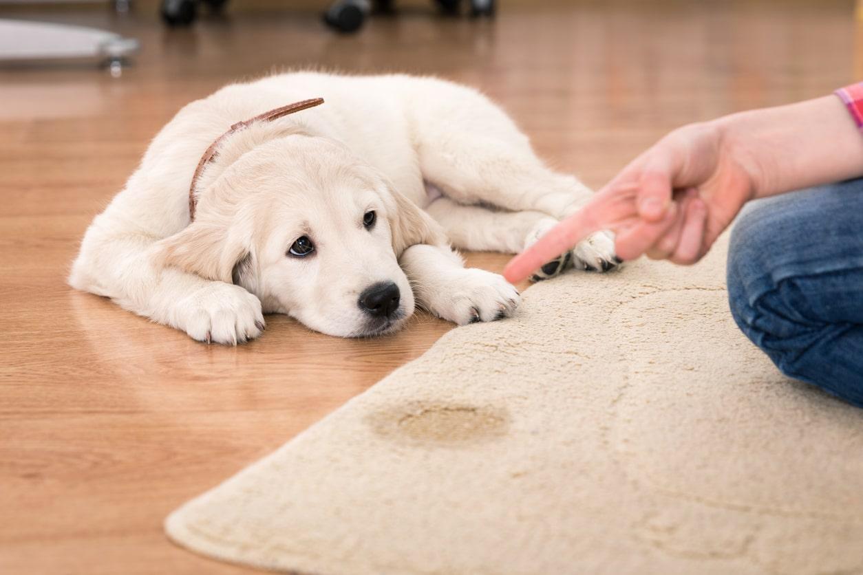 chiot qui se fait gronder pour avoir fait pipi sur le tapis