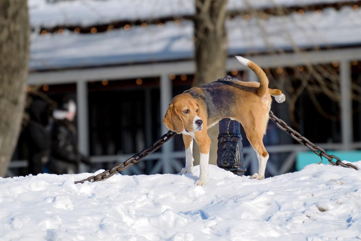chien qui fait pipi contre un poteau