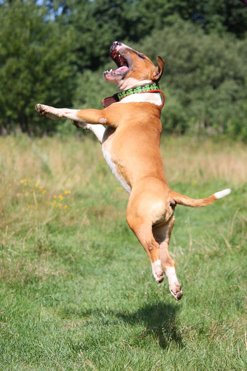 Bull Terrier qui saute en l'air