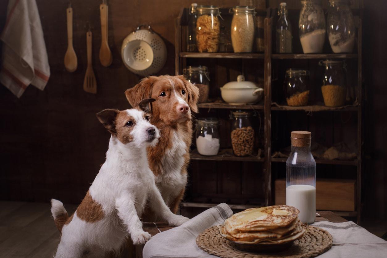 chiens qui attendent sagement pour manger des crêpes