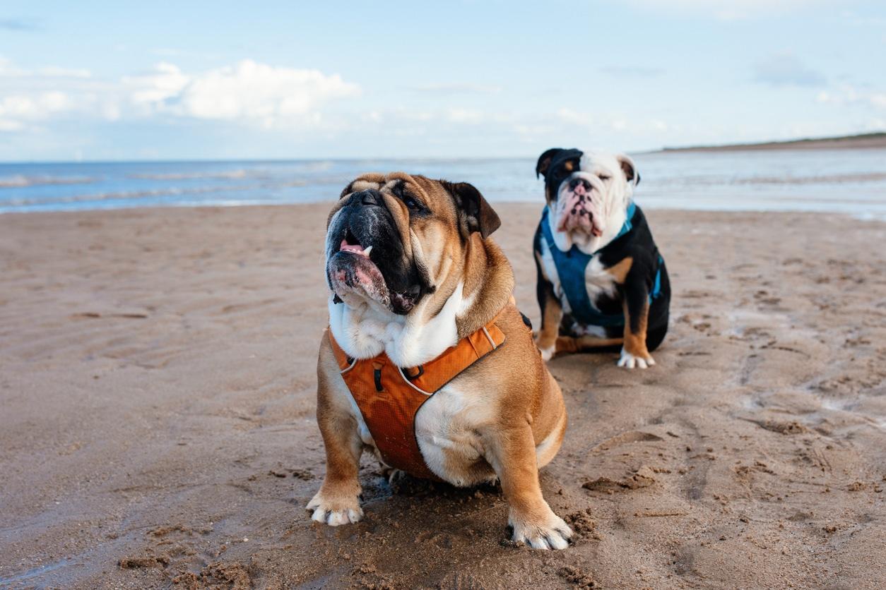 deux chiens bulldog anglais assis sur la plage