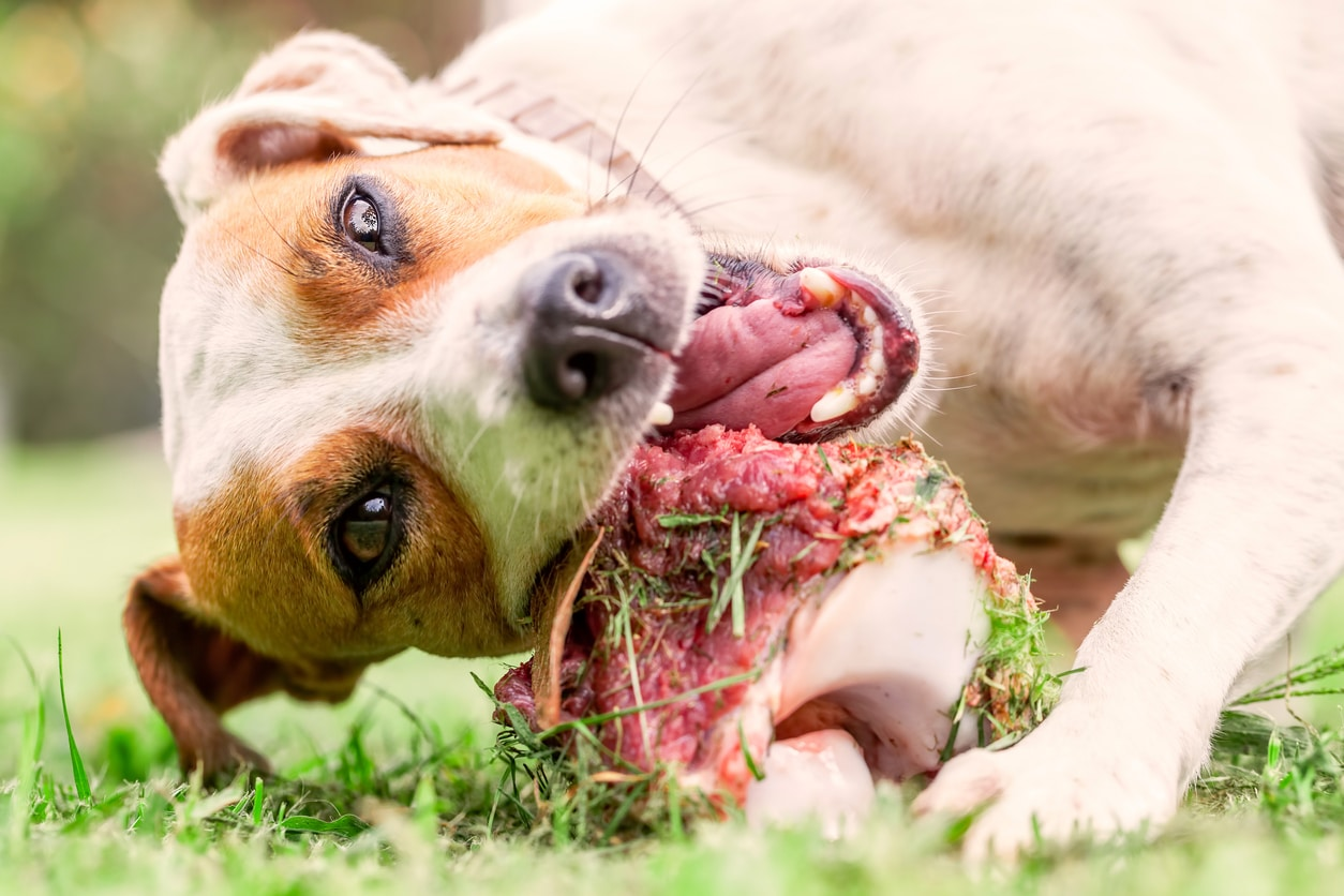 chien Jack Russel qui mange un os charnu