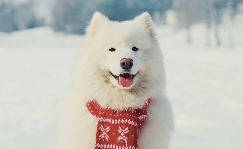 Samoyède avec une écharpe et la truffe des neiges