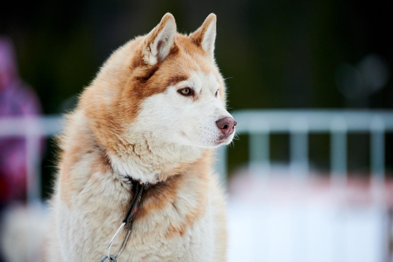 Portrait d'un Husky avec la truffe des neiges