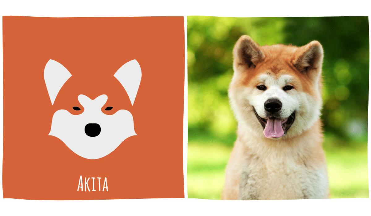 dessin minimaliste d'un Akita Inu à côté d'une photo d'Akita Inu
