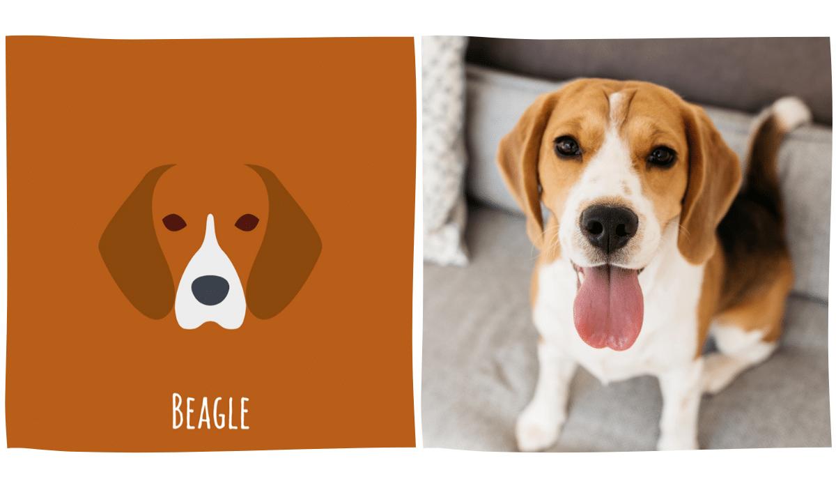 dessin minimaliste d'un beagle à côté d'une photo de beagle