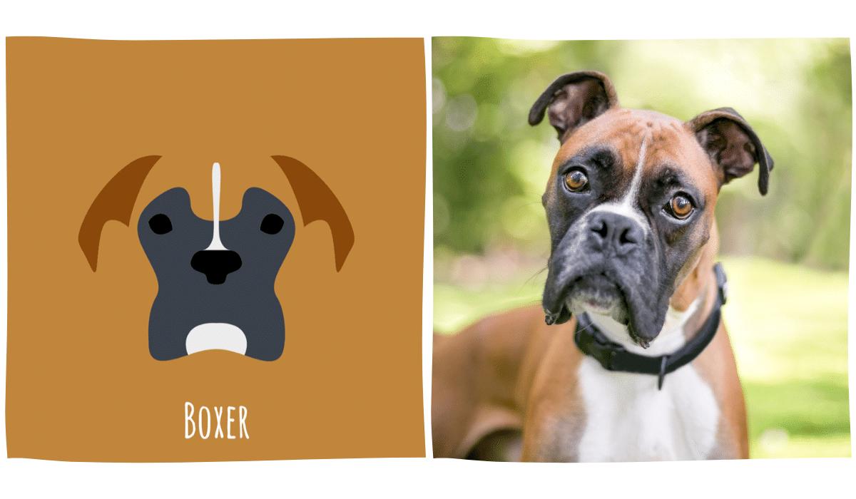 dessin minimaliste d'un boxer à côté d'une photo de boxer